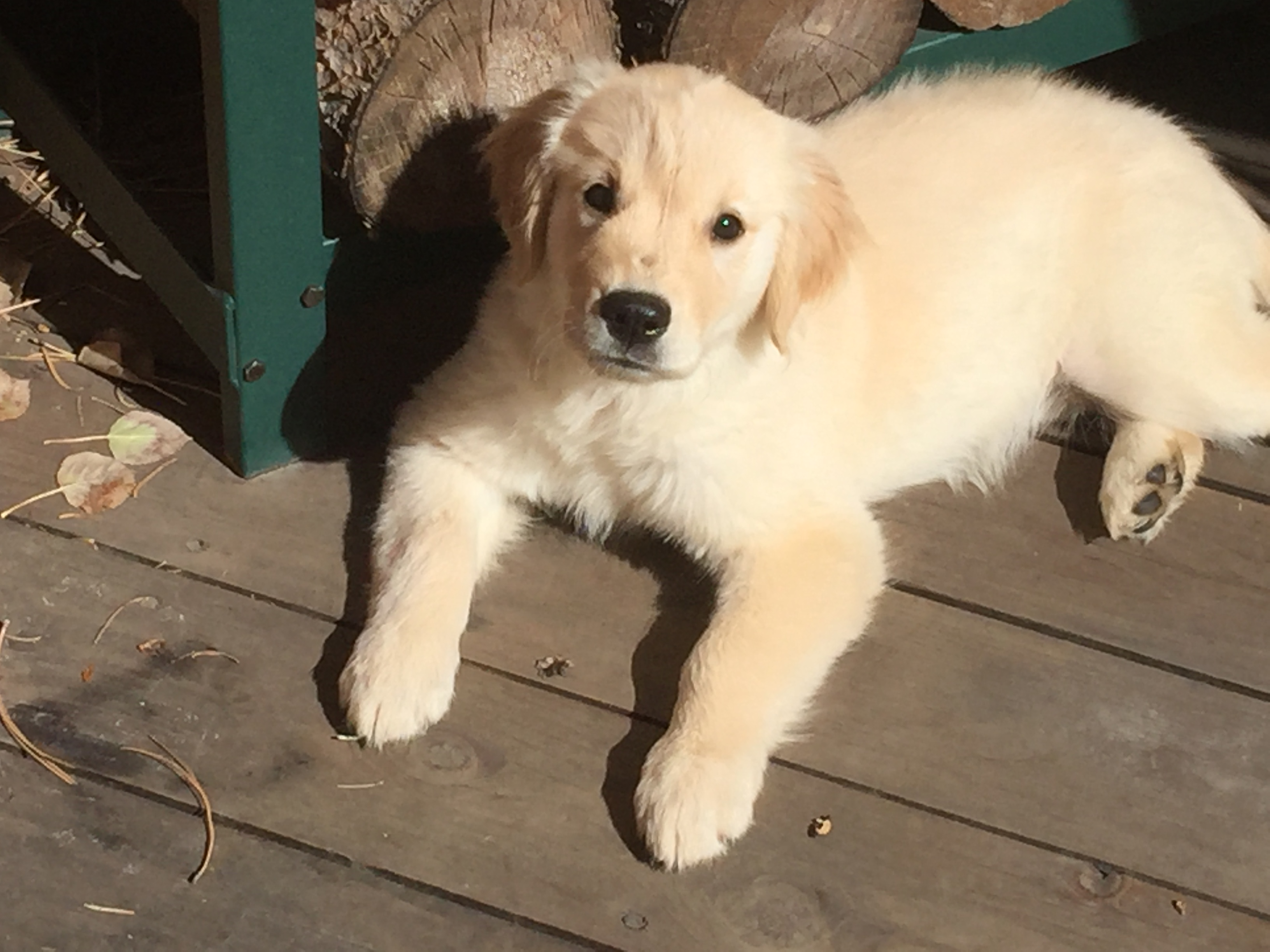 Pearl. The Best Golden Retriever in the World!